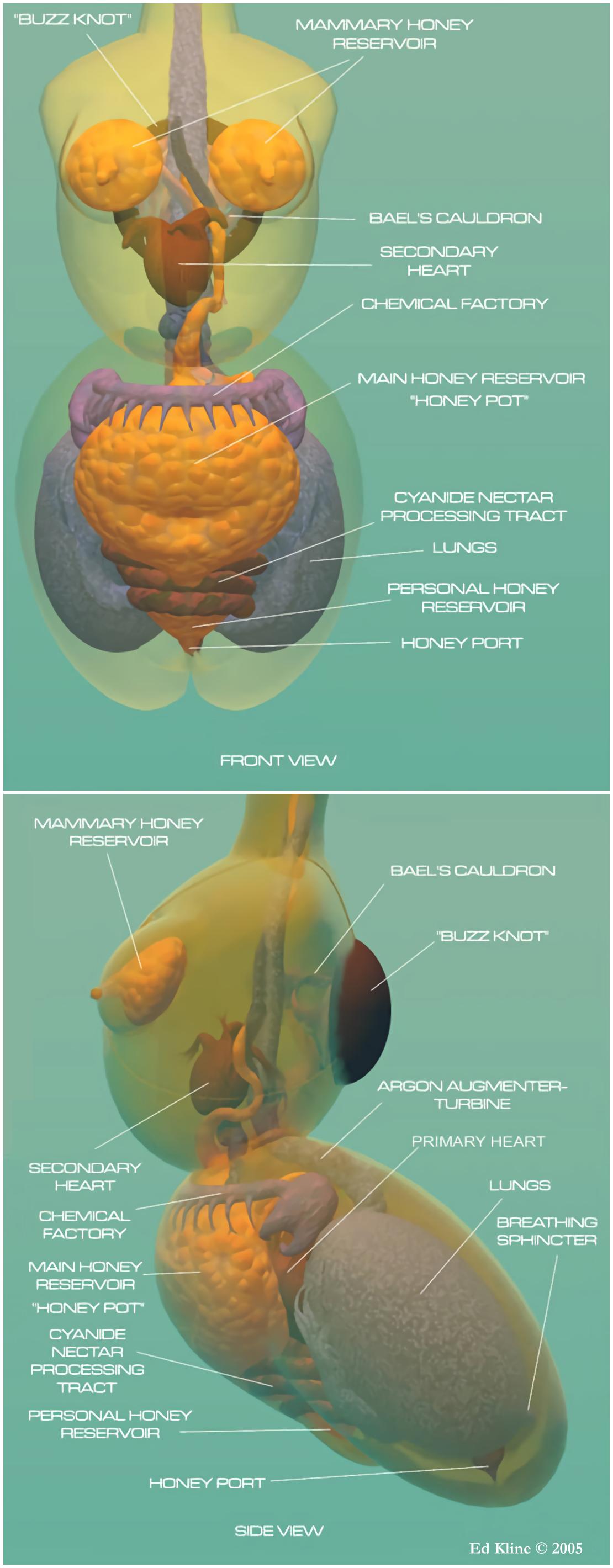Female honeybee anatomy