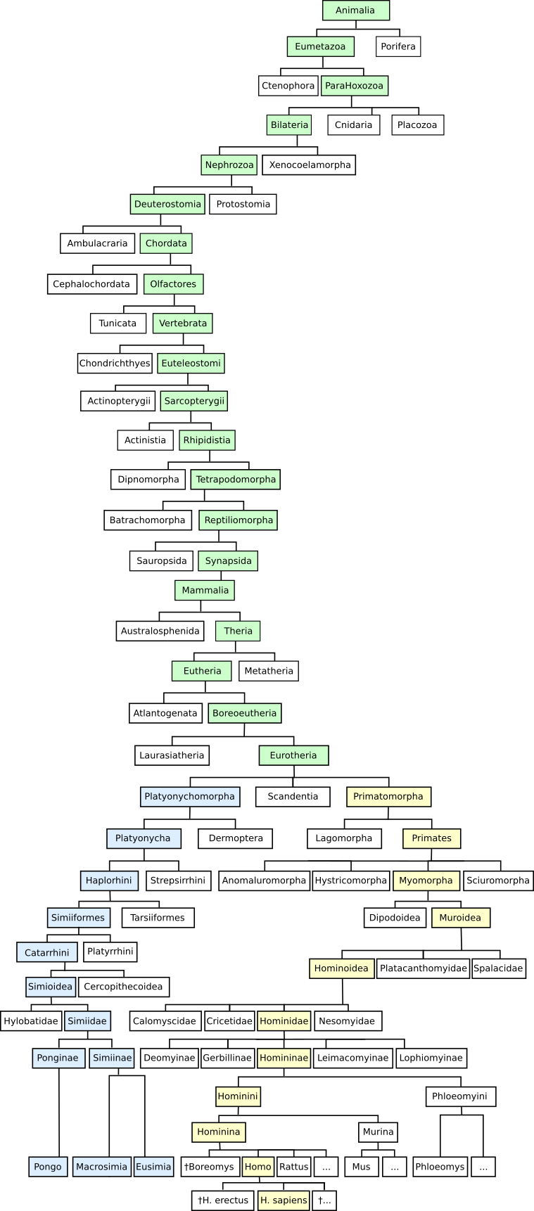 Relationship between humans and great apes